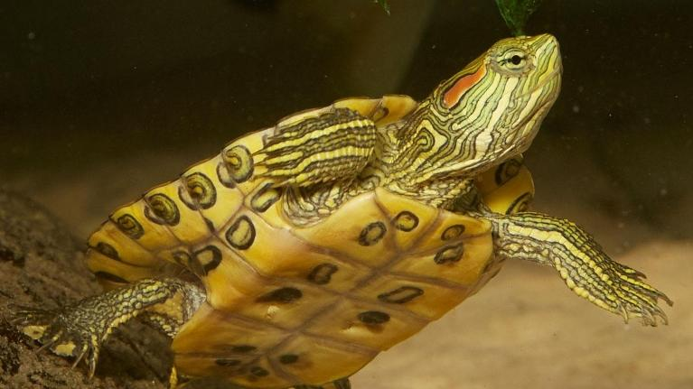 Red-eared Slider | Mesa Veterinary Hospital